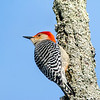 Red bellied woodpecker 5