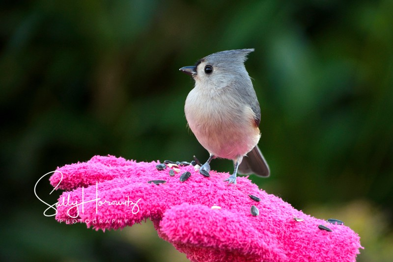 Tufted Titmouse 5