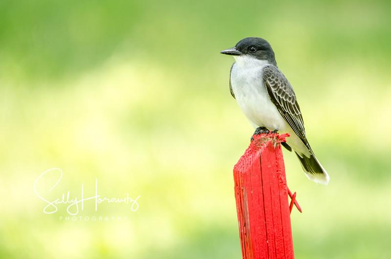 Eastern Kingbird 1