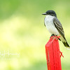 Eastern Kingbird 1