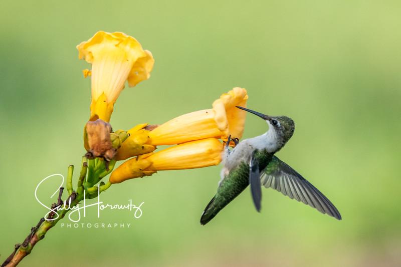 Ruby-throated Hummingbird 27