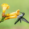 Ruby-throated Hummingbird 28