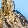 Tree swallow 4