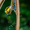 American goldfinch 10