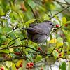 Gray Catbird 4