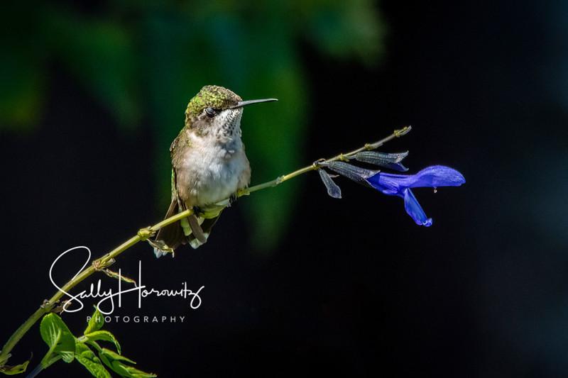Ruby-throated Hummingbird 25
