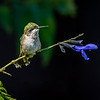 Ruby-throated Hummingbird 25