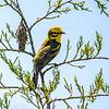 Prairie Warbler 3