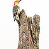 Red bellied woodpecker 4
