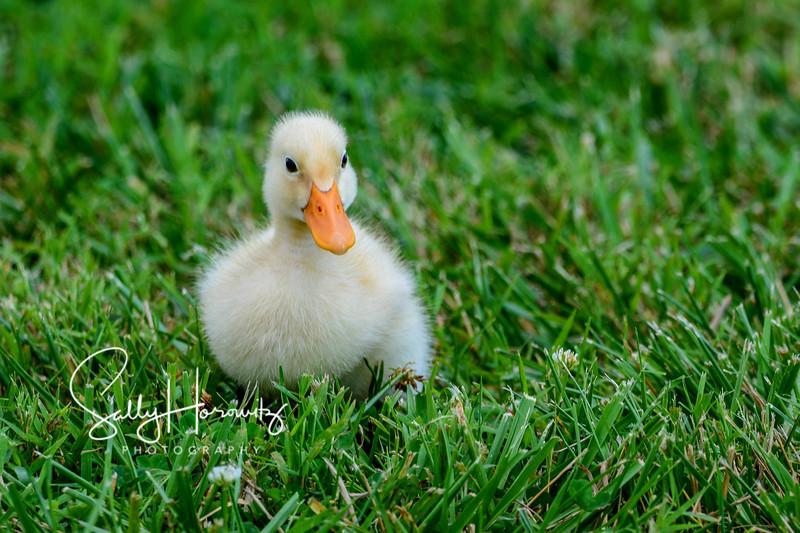 Pekin duckling 2