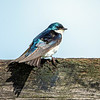 Tree Swallow 9
