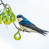 Tree swallow 7