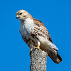 Red tailed hawk 16