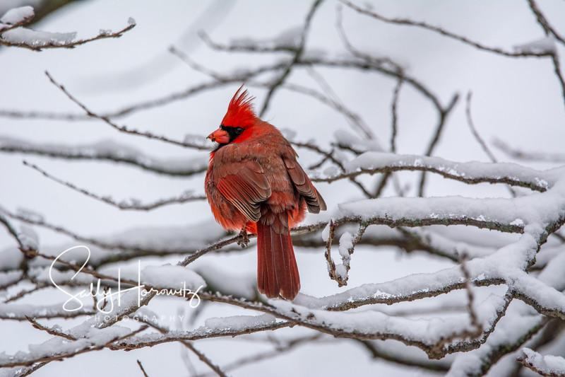Northern Cardinal male 15
