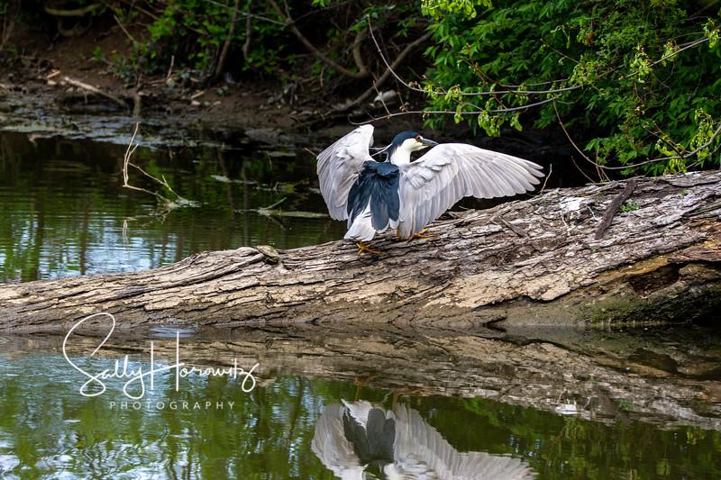 Black Crowned Night Heron (5)