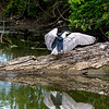 Black Crowned Night Heron (5)