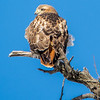 Red tailed hawk 7