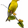 American goldfinch 9