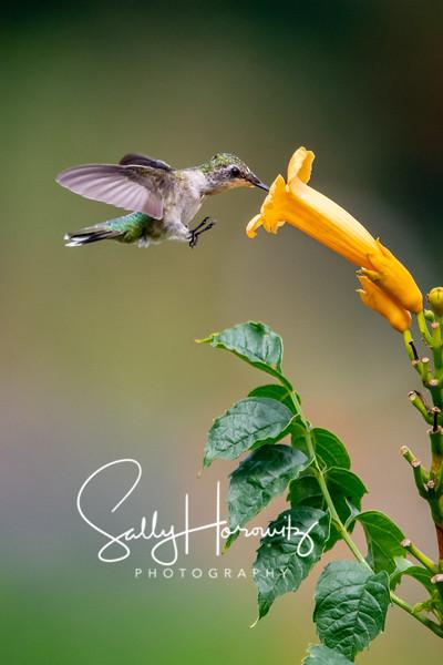 Ruby-throated Hummingbird 4