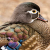 Female Wood Duck 2