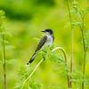 Eastern Kingbird 5