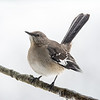 Northern Mockingbird 2