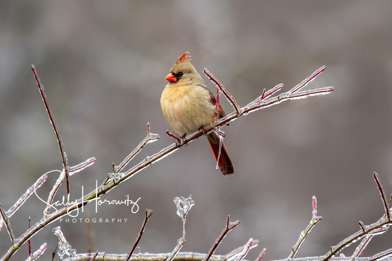 Northern Cardinal female 5