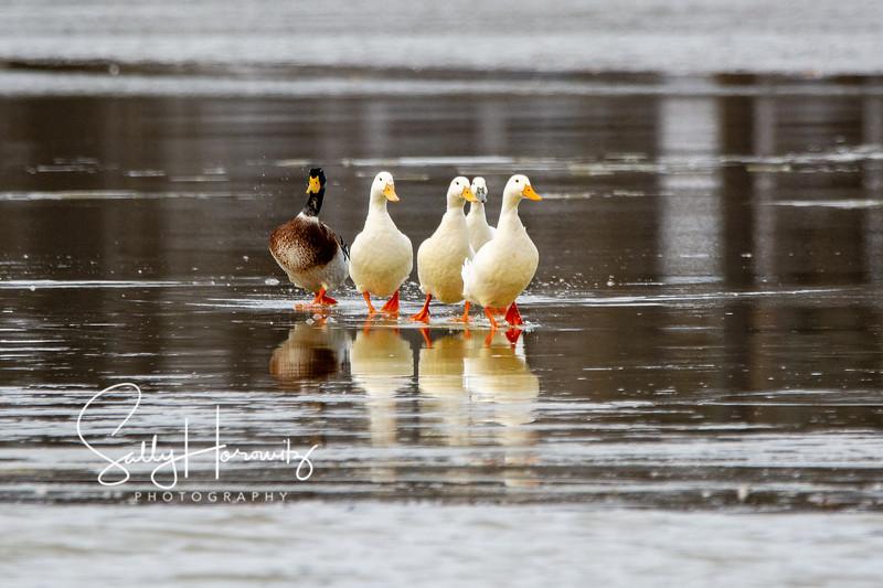 The local ducks