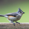 Tufted Titmouse 11