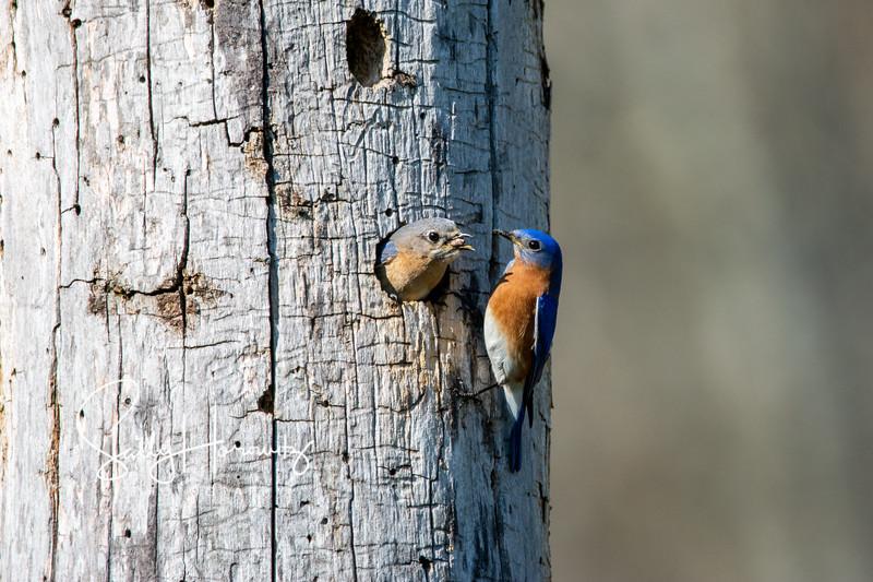 Bluebird couple 1