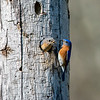 Bluebird couple 1