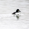 Common Goldeneye 4