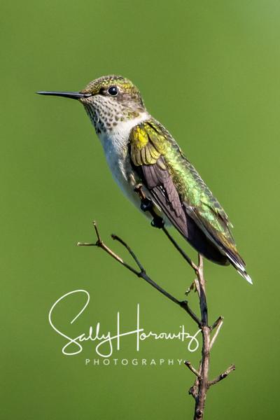 Ruby-throated Hummingbird 9