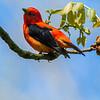 Scarlet Tanager 7