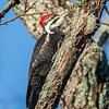 Pileated Woodpecker 7