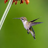 Ruby-throated Hummingbird 31