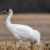 Whooping Crane 2