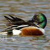 Northern Shoveler male 1