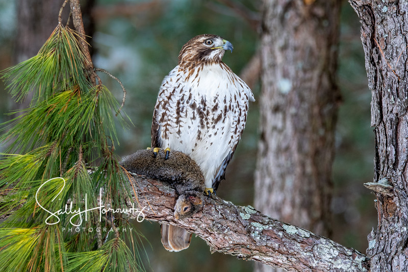 Red-tailed hawk with squirrel 2