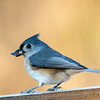 Tufted Titmouse 10