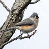 Tufted Titmouse 9