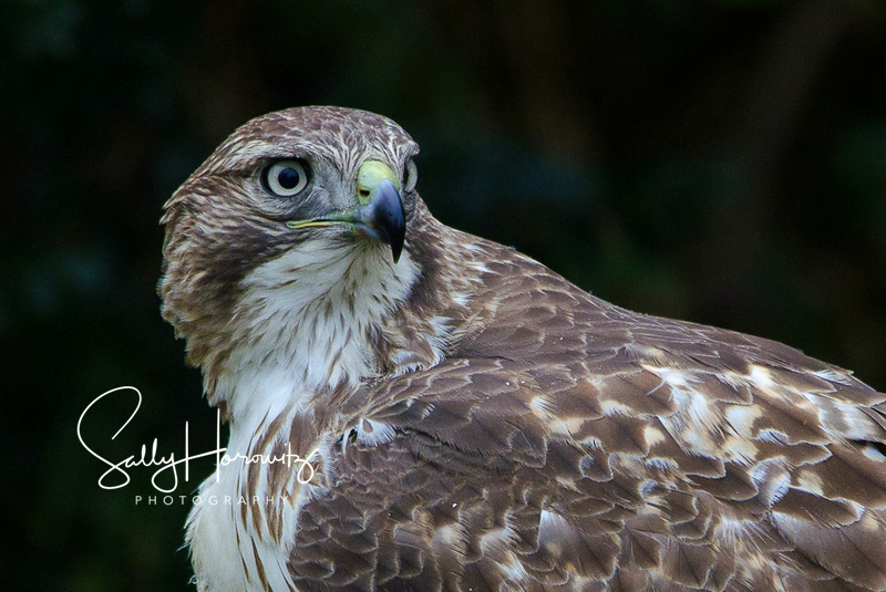 Red tailed Hawk 1