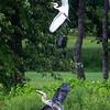 Heron/Egret wars