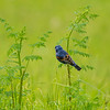 Blue grosbeak male 3