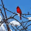 Northern Cardinal male 4