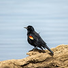 Red-winged blackbird 1