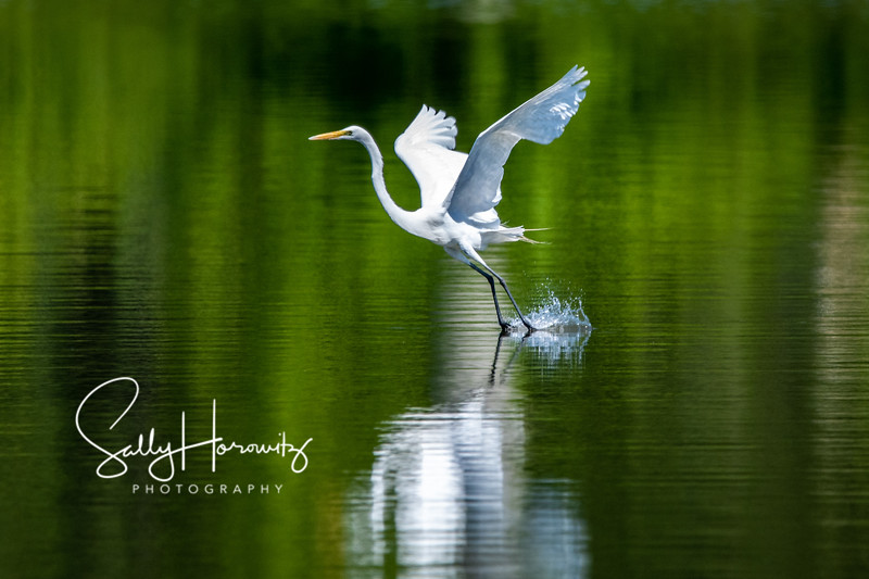 Great white egret 7