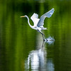 Great white egret 7