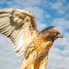 Red tailed hawk 10