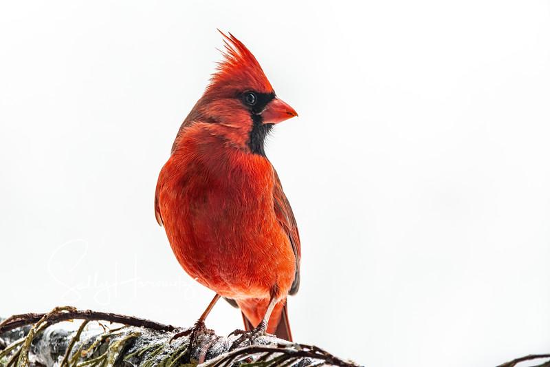 Northern Cardinal male 16